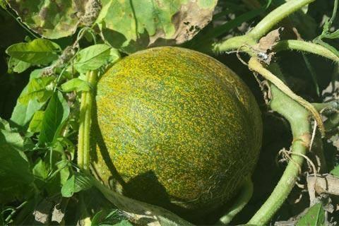 yubari melone ernte