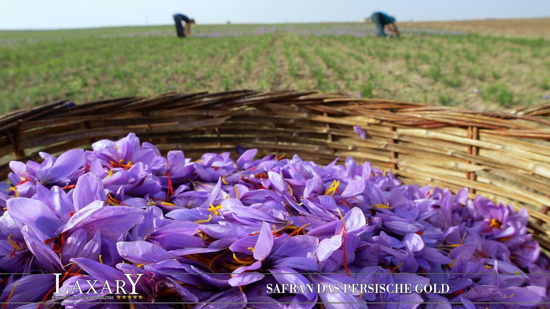 Safran - ein köstlicher und rarer Schatz